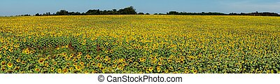 panorama sunflower field