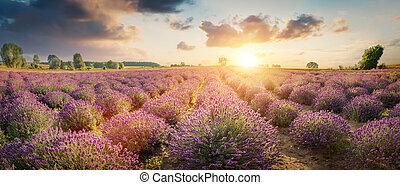 panorama, tramonto, giacimento lavanda, fiore