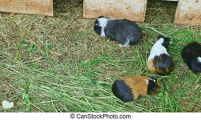 panorama, trawa, dekoracyjny, dużo, jeść, świnie, gwinea,...