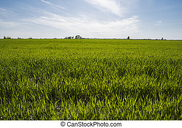 Panorama view of green sprouting rye agricultural field on spring sunny day with blue sky. Sprouts of rye.