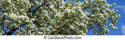 blooming branch of apple tree