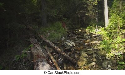 Panorama with a forest stream in a coniferous forest. Video with natural sound