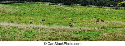 Panorama with grey kangaroo