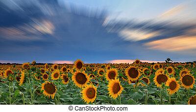 panorama, zonnebloemen, ondergaande zon