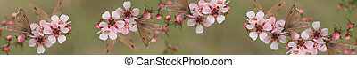 Australian panoramic Australiana banner for smartphome and tablet with live natural wild butterfly and leptospernum flowers of Australia