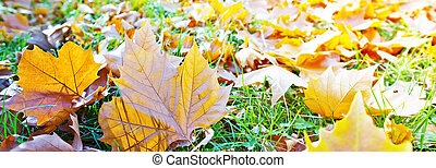 Panoramic autumn background. Leaves in the park.