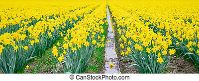 Panoramic blossom daffodil field nature background in Skagit Valley, Washington, USA