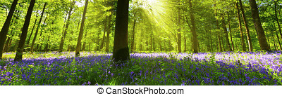 Panoramic Bluebell Wood - Panoramic view inside a bluebell...