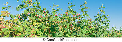 Panoramic bounty ripen raspberries bush with clear blue sky in Washington, USA