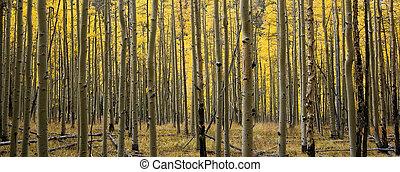 Panoramic Fall Aspens of Colorado