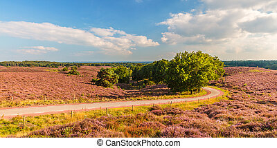Panoramic image of blooming heathland with road at the Veluwe national park in The Netherlands