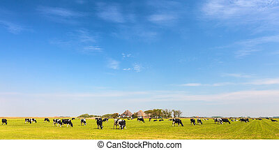 Panoramic image of milk cows on the Dutch island of Texel in summer