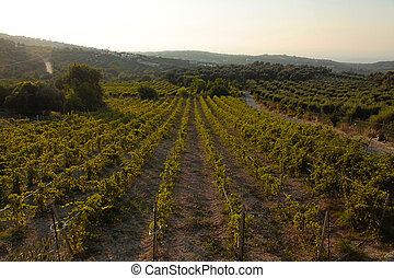 Panoramic landscape of a vineyard in Crete, Greece.