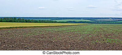 Panoramic landscape of field with wheat. Tungsten weather.