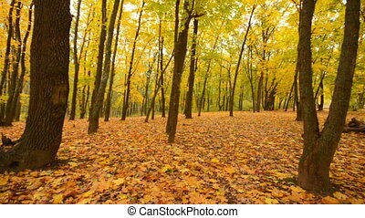 Panoramic Motion through a Colorful Autumn Woods