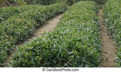 Panoramic of Green tea garden.