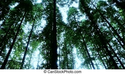 Panoramic of trees crown,forest