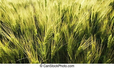 panoramic shot with a field of unripe wheat at sunset, wheat...