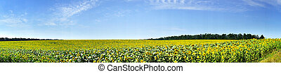 Panoramic view  field of sunflowers by summertime.