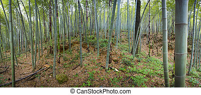 Panoramic view of a bamboo forest
