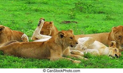 herd of lions