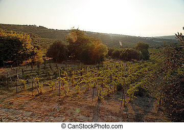Panoramic view of a vineyard in Crete, Greece. Sunset light