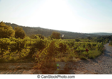 Panoramic view of a vineyard in Crete, Greece.