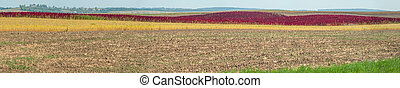 panoramic view of agricultural lands and red amaranth strip under blue sky, agriculture concept.