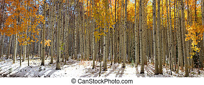 Aspen trees - Panoramic view of Aspen trees in winter time