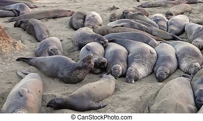 Californian elephant seal colony - Panoramic view of ...