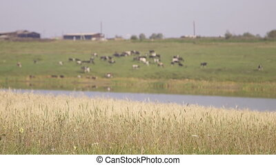 Panoramic view of cattle grazing on pond side. It is picture...