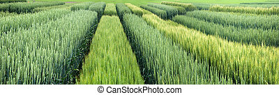 Panoramic view of demo plots sectors of cereals with new varieties in agriculture, view above