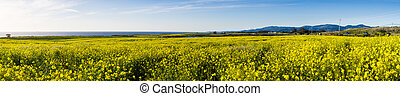 Panoramic view of fields of wild mustard on the Pacific Ocean coastline close to Half Moon Bay, California