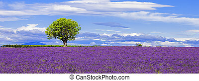 Panoramic view of lavender field with tree, France.