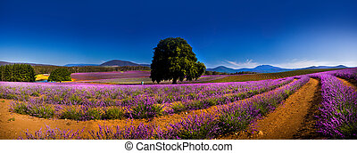 Panoramic view of lavender fields and one lone tree