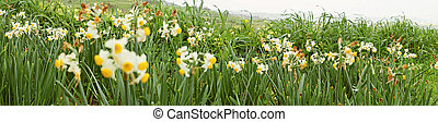 Panoramic view of meadow of wild daffodils