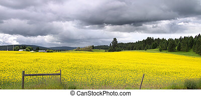 Panoramic view of Rapeseed fields