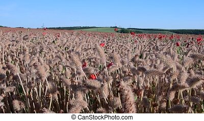 Panoramic view on country landscape. Corn poppy, field poppy