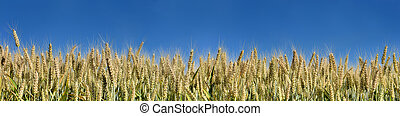panoramic view on field of wheat
