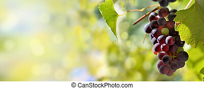 panoramic view on one black grape growing in foliage lighting by the sun