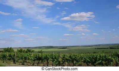 Panoramic view on vineyard. Vineyard in spring. Green vineyard and blue sky