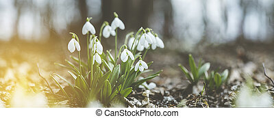 Panoramic view to spring flowers in the forest. White ...