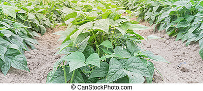 Panorama view row of green bush beans ready to harvest at legumes farm in Washington, America. Abundance of Northwest grow bean on dry soil. Agriculture background.