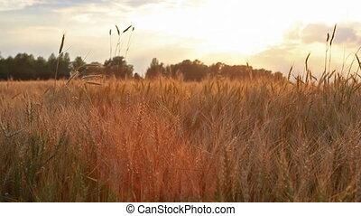 panoramique, brise, blé