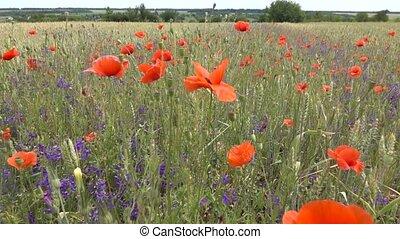 panoramique, entiers, day., coloré, vertical, sauvage, blé, ...