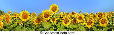 panoramisch, akker, prachtig, zonnebloemen, summertime, ...
