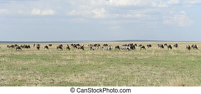 panoramisch, serengeti, tiere, ansicht
