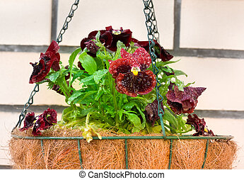 Pansies in flower hanging basket