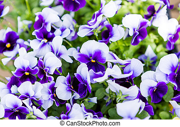 Pansy - Bright Panola pansy for sale at the local garden ...