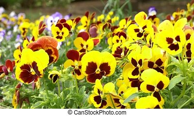 Pansy flowers. a lot of colored yellow flowers on a city...